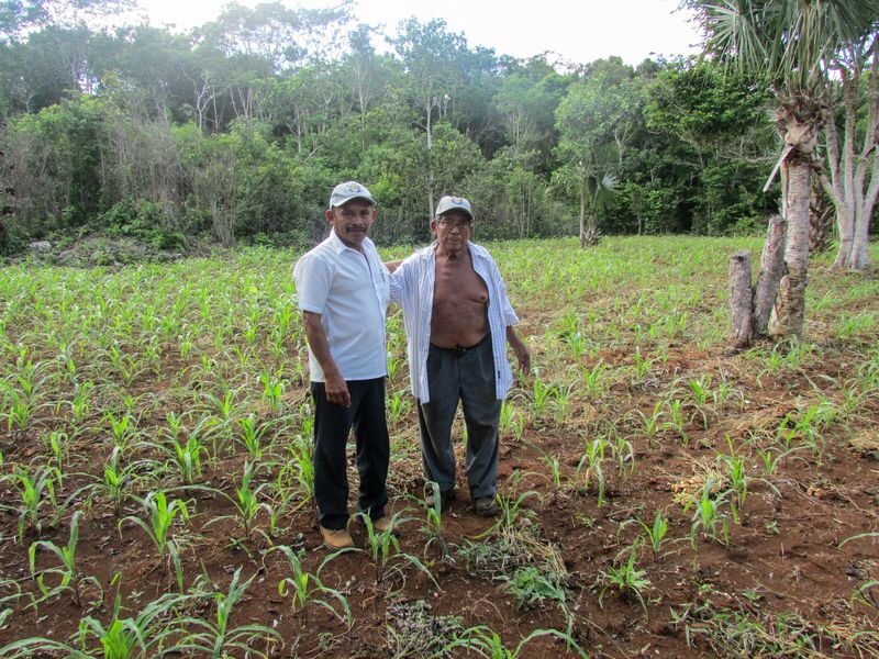 Farmers Gualberto Casanova (left) and Dionisio Yam Moo stand among young corn plants in Yam Moo's improved <em>milpa </em>plot.