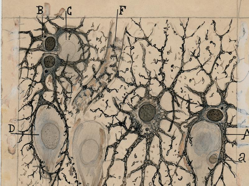 Cajal summarizes many of the properties of astrocytes in this drawing of the hippocampus of a man three hours after death.
