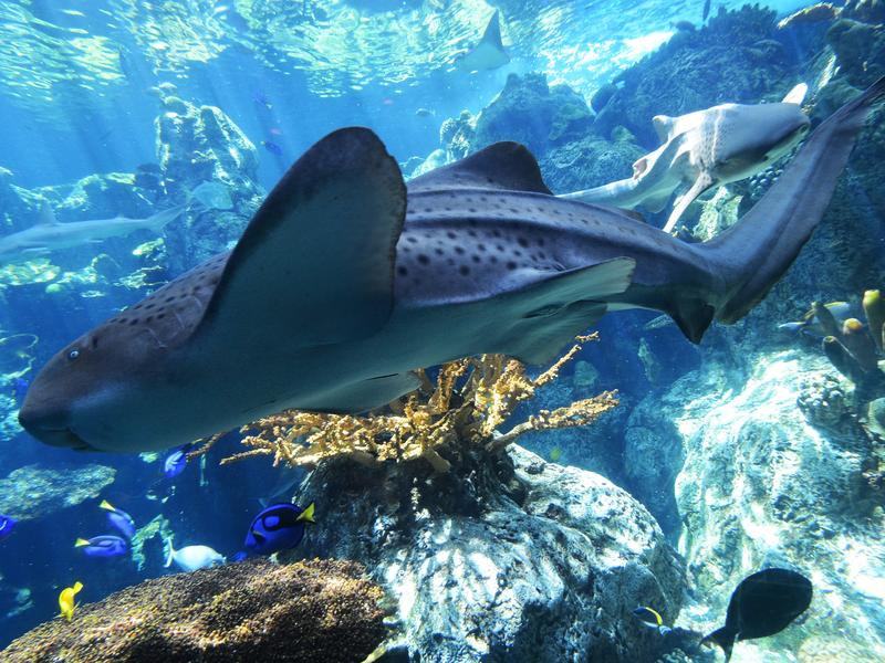 Zebra sharks are one example of an animal that can reproduce sexually and asexually.
