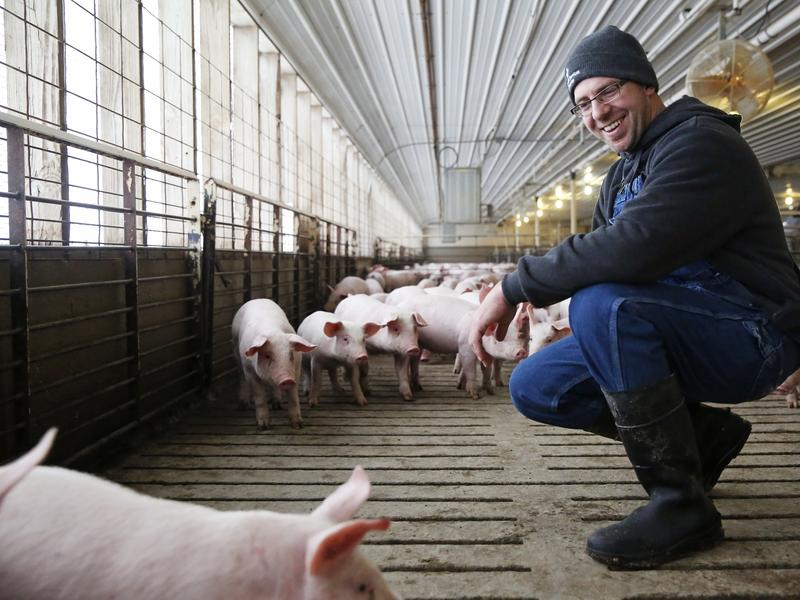 """Kress checks the pigs for signs of weakness or respiratory distress. """"[We] try to make eye contact with every animal, every day,"""" he says."""