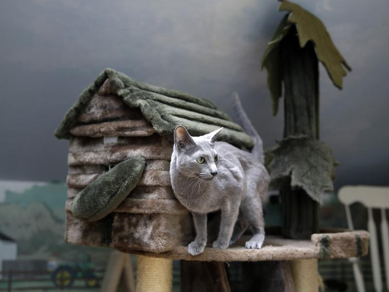 A cat stands on a playhouse in New Jersey, which could become the first state to ban the practice of declawing cats.