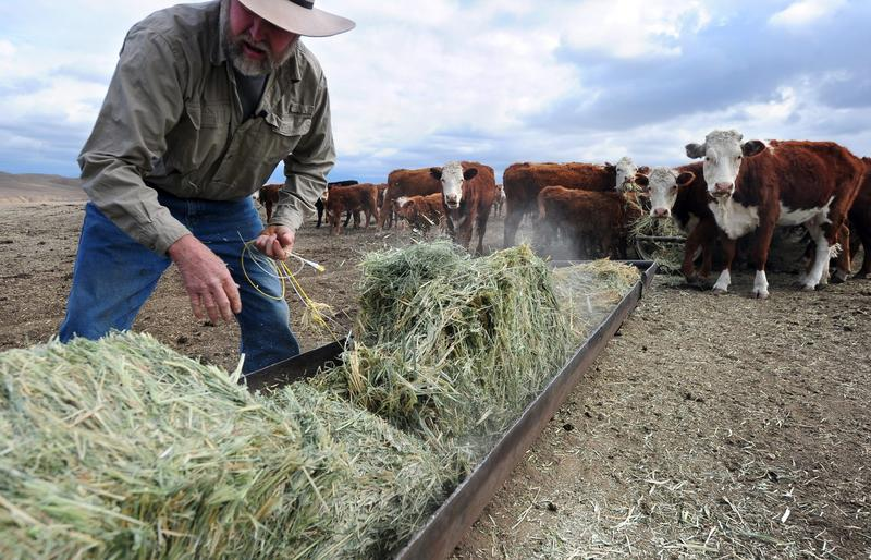 A California rancher delivers hay to feed his herd of beef cattle at a ranch on the outskirts of Delano, in California's Central Valley, in February 2014. (Frederic J. Brown/AFP/Getty Images)