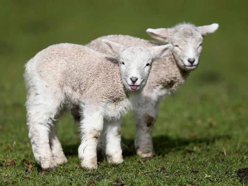 In New Zealand, sheep outnumber people 6 to 1.