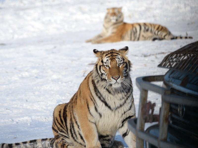 In this 2014 photo, two Siberian tigers rest beside a gamekeeper's vehicle at the Harbin Siberian Tiger Park in China's Heilongjiang province.
