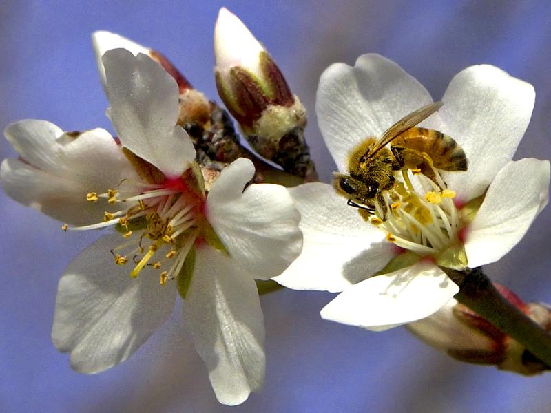 A honeybee collects nectar from an almond blossom in an almond orchard near Bakersfield in Wasco, California, U.S.