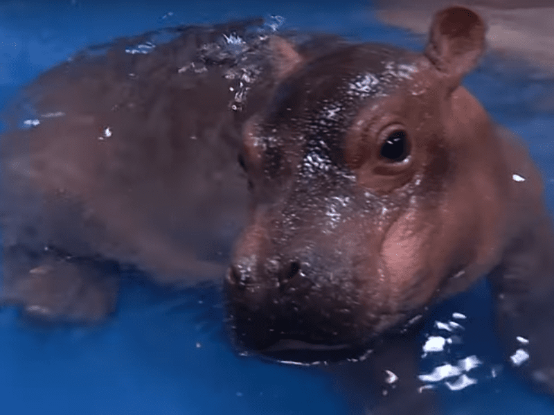 Fiona the baby hippo shows off her moves.