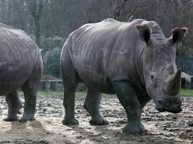 White rhinoceros Gracie (left) and Bruno — seen in their enclosure at Thoiry Zoo in France on Tuesday — are safe. Poachers broke into the zoo overnight and killed a 4-year-old male white rhino named Vince.