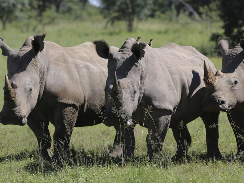 Three rhinos line up at the Welgevonden Game Reserve on Wednesday in South Africa's Limpopo province.