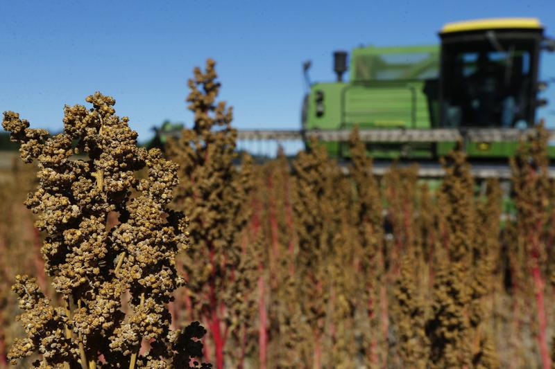 In this Sept. 13, 2016 photo, farmer Sam McCullough uses his combine to harvest quinoa near Sequim, Wash. (Ted S. Warren/AP)