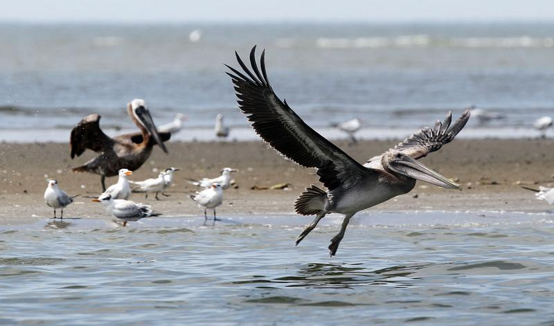 A pelican flies July 15, 2010 at Raccoon Island, Louisiana. Biologists say at least 300 pelicans have been smeared with oil on the island, which is the largest nesting area for seabirds on the coast.