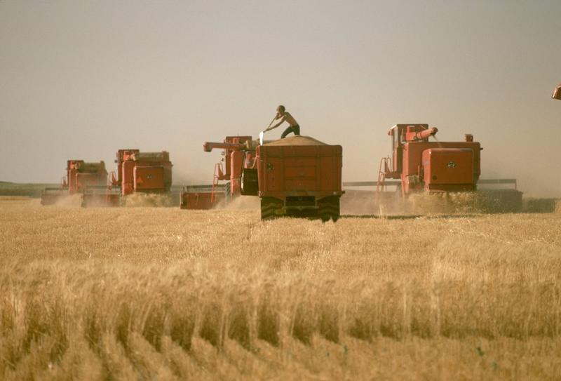 A member of a custom harvest crew works on a grain truck full of newly harvested wheat.
