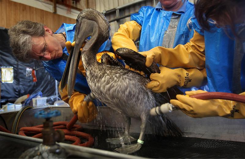 Heather Nevill (L), and fellow veterinarians clean an oil-covered brown pelican at the Fort Jackson Wildlife Rehabilitation Center in Buras, Louisiana.