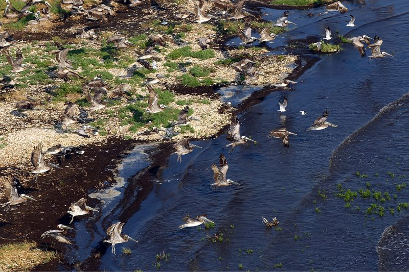 Pelicans take flight near an oil covered shoreline in Brush Island, Louisiana.