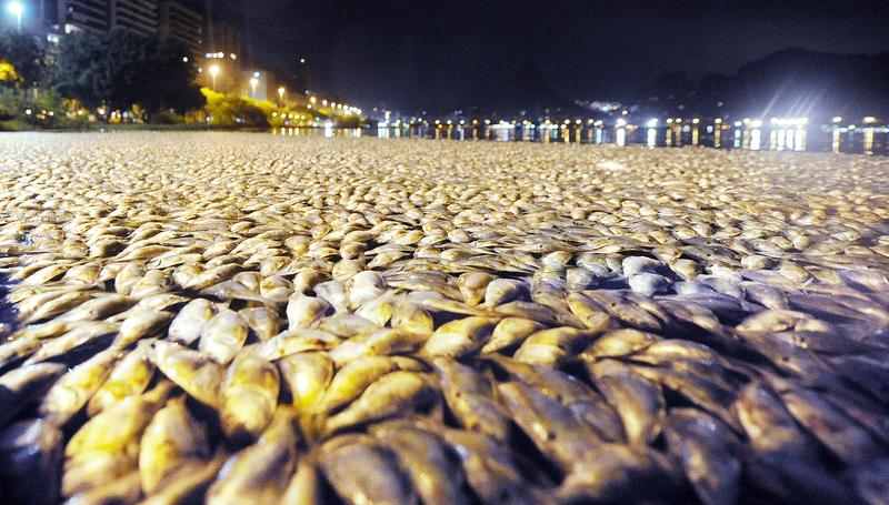 Hordes of dead fish float in Rio de Janeiro in Feb. 2010.  The death of the fish may be the result of an abrupt temp. change, falling 10 degrees C in 24 hours or possibly due to pollution.