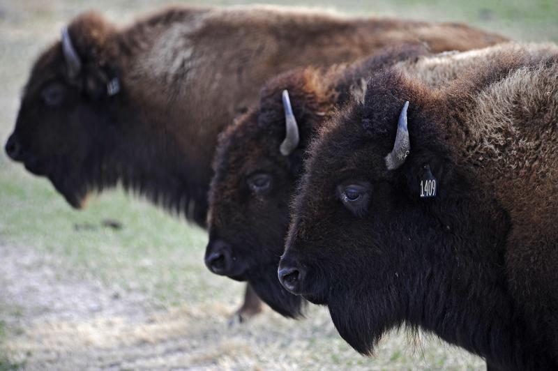 Bison gather near Grand Island, Neb., Monday, March 20, 2017.