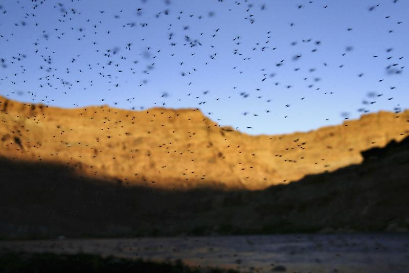 A cloud of mosquitoes over the Colorado River.