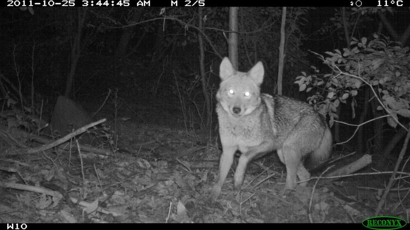 A northeastern coyote in a New York City park.
