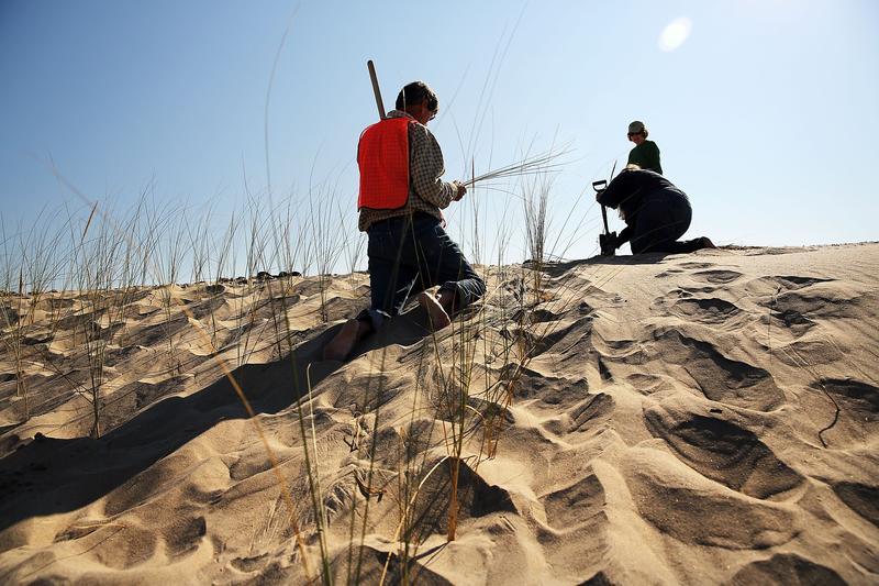 Residents plant beach grass on protective sand dunes in the Breezy Point neighborhood on the one-year anniversary of Hurricane Sandy.