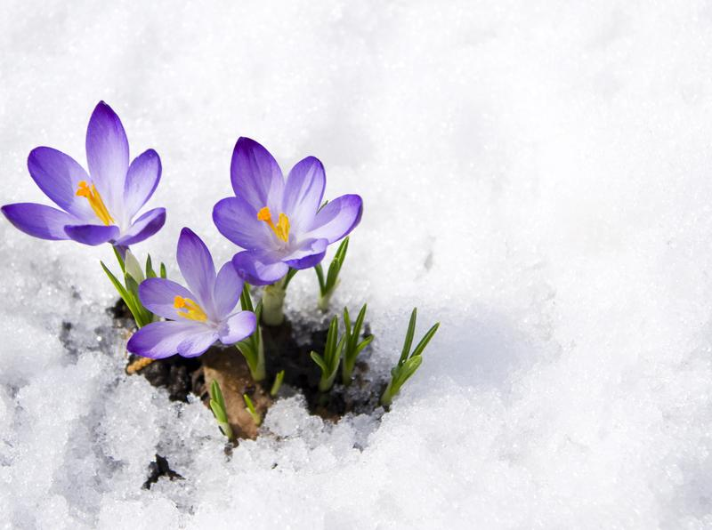 The crocus flower is an early sign of spring.
