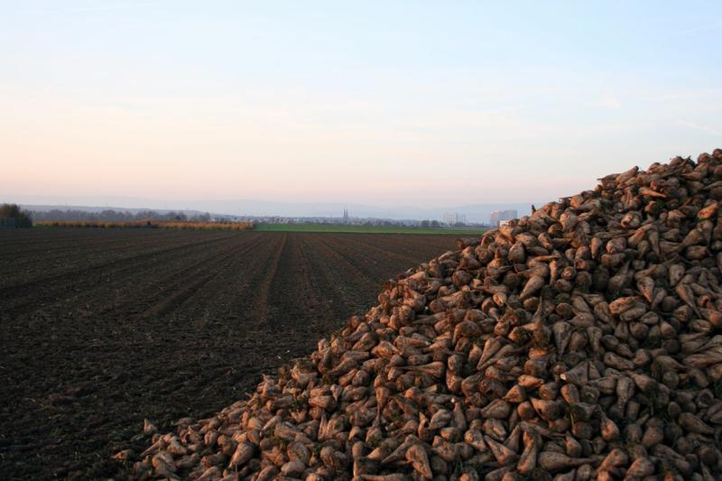 Sugar Beets immediately after harvest