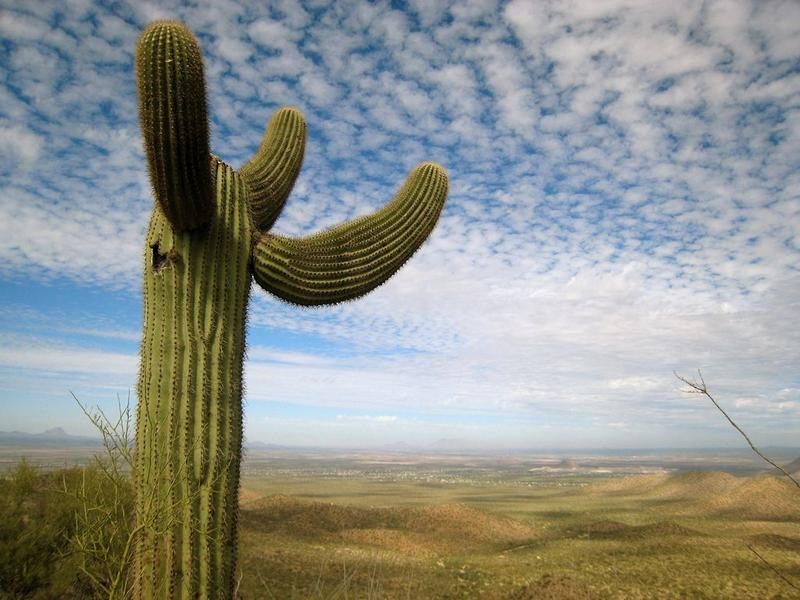 Saguaro Cactus in Arizona's Sonoran Desert