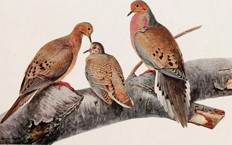 A sketch of the passenger pigeon from 1902.