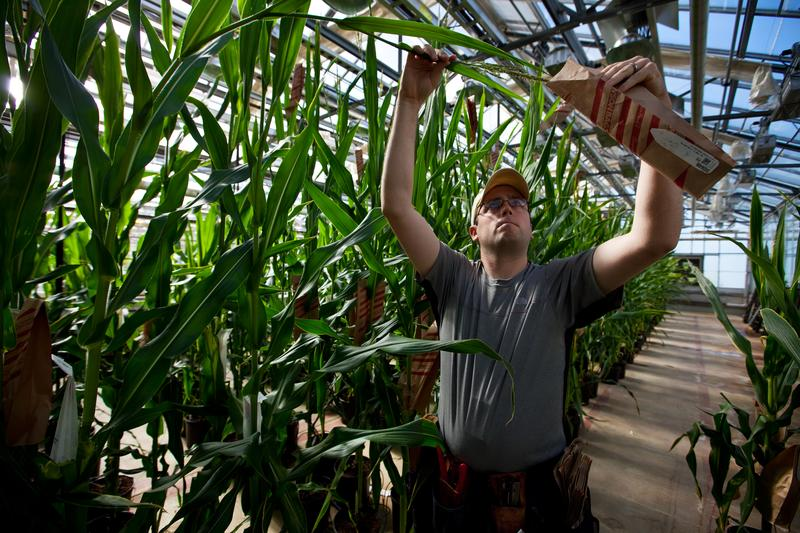ant Specialist Dustin McMahon hand pollinates genetically modified corn plants inside greenhouses housed on the roof of Monsanto agribusiness headquarters in St Louis, Missouri, 21 May 2009.