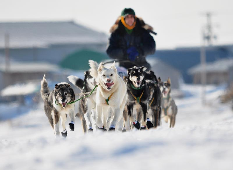 Sled dog team and musher leaving Unalakleet, Alaska, in the Iditarod Trail Sled Dog Race, 2013.