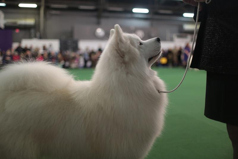 A Samoyed looks up at its handler while competing at the 2015 Westminster Kennel Club Dog Show.