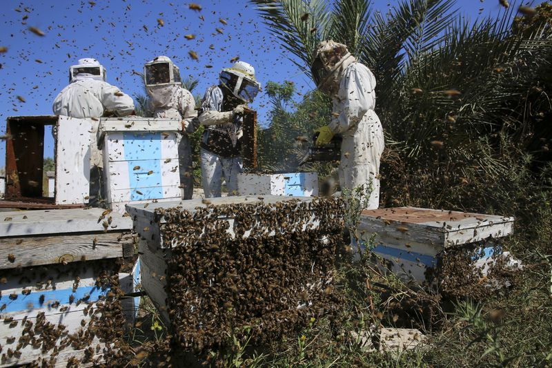 Palestinian beekeepers Wael Edwak, left, and workers lift honeycombs from a beehive while Mohammed Edwak, right, uses smoke to calm the bees during the honey harvest at a farm in Bureij refugee camp.