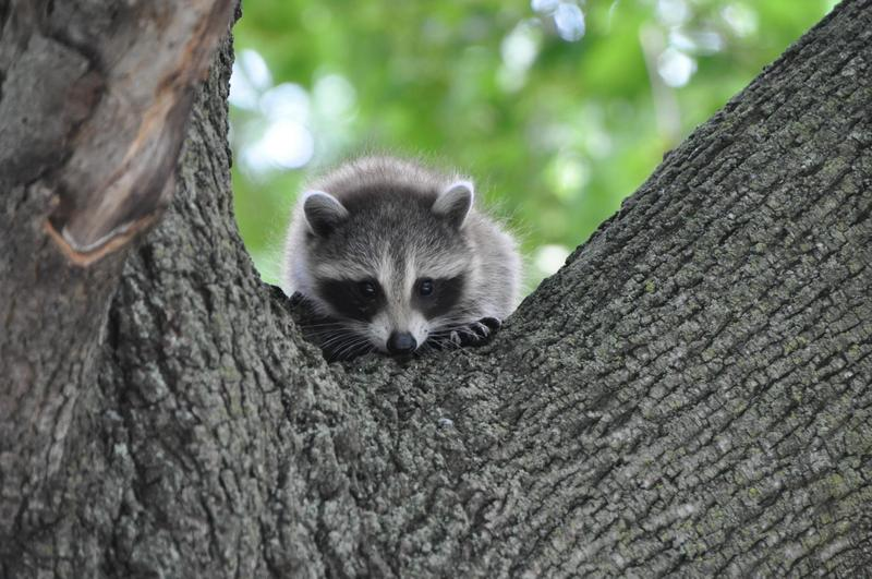 Immature Racoon,  Corson's Brook Woods, Staten Island