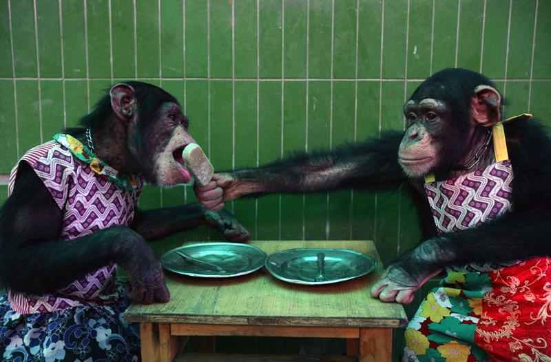 A chimpanzee feeds another chimpanzee with an ice pop at the Chongqing Safari Park August 5, 2007 in Chongqing Municipality, China.