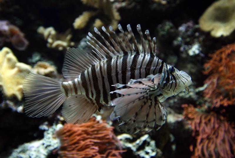 A Lionfish swims in an aquarium in the Vivarium in the zoo in Basel, Switzerland on Wednesday, December 12, 2007.