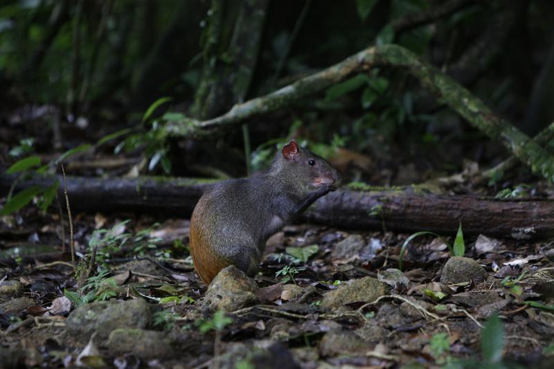In this photo taken Aug. 13, 2010, an agouti rodent eats around roots and trees in Brownsberg Nature Park, about 80 miles south of Paramaribo, Suriname.