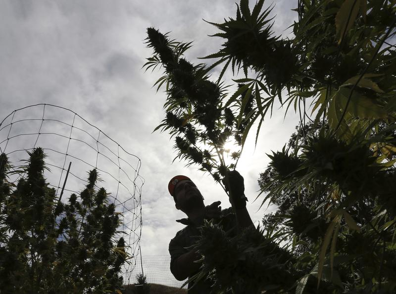 In this Wednesday, Oct. 12, 2016 photo, Aaron Gonzalez removes a branch from a marijuana plant on grower Laura Costa's farm, near Garberville, Calif.