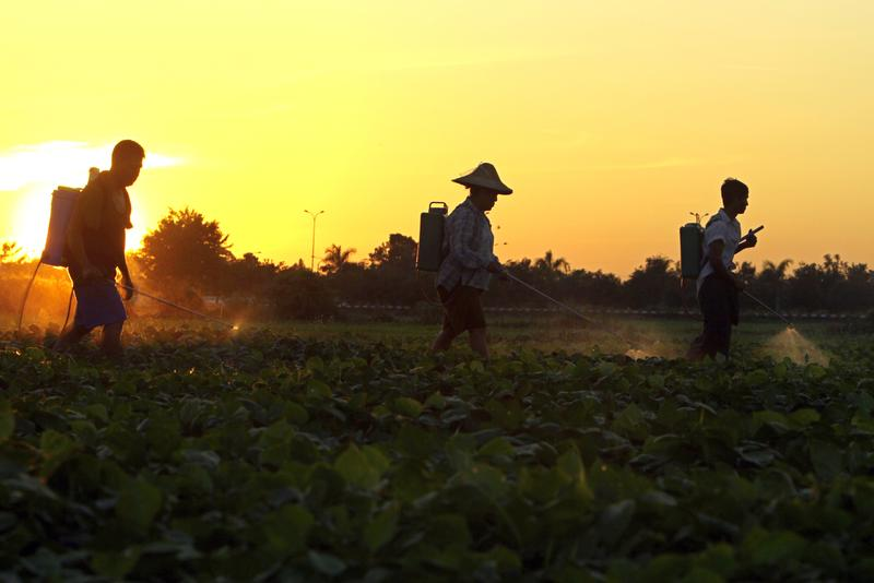 Farmers spray pesticide over peas on a farm during sunset in Naypyitaw, Myanmar, on Tuesday, Dec. 6. 2016.