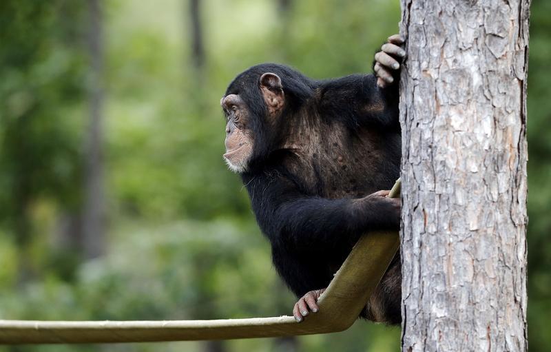A chimpanzee in a sanctuary in Keithville, Louisiana.