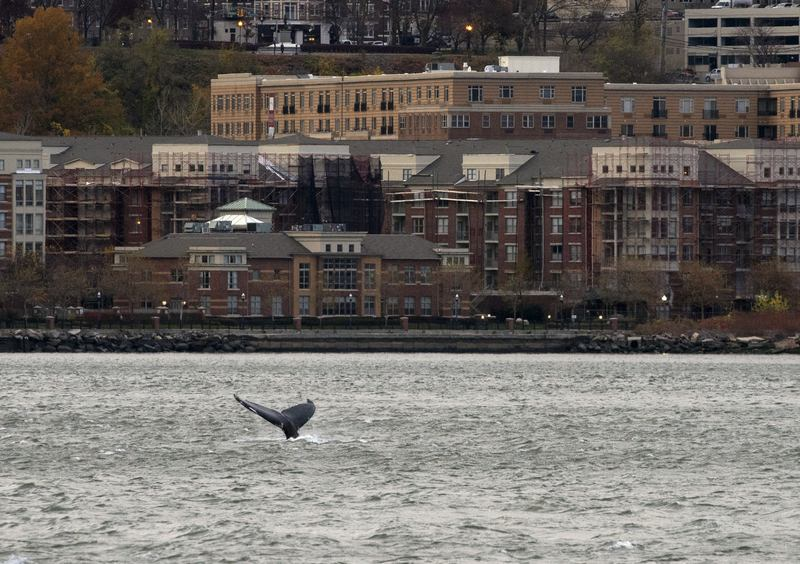 A humpback whale pops up in the waters between 48th Street and 60th Street as seen from New York City, Nov 20, 2016