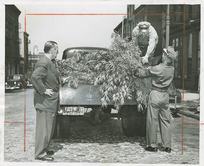 Evil harvest--Inspector John E. Gleason of the Sanitation Department supervises as departmental workers load uprooted marijuana onto truck. Weeds found growing near Williamsburg Bridge.