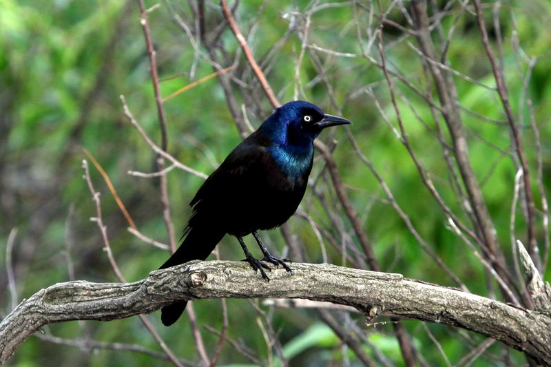 A Common Grackle, spotted in Central Park in May, 2014.