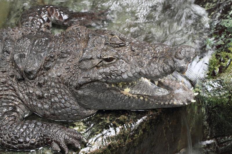 Crocodylus suchus
