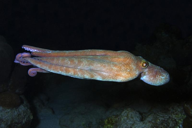 Free swimming Caribbean reef octopus out at night, Octopus briareus, Curacao, Netherlands Antilles.