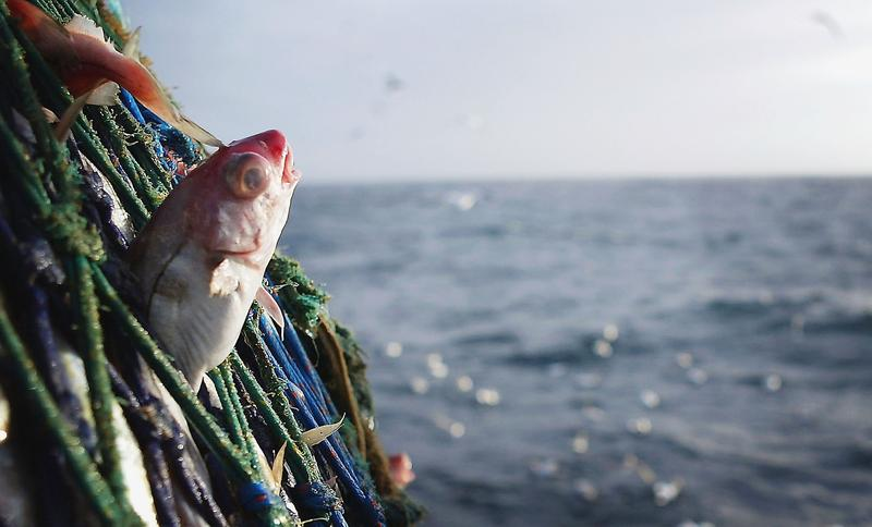 A Haddock caught in the nets of the Scottish trawler, Carina, some 70 miles off the North coast of Scotland, in The North Atlantic on March 5, 2004.