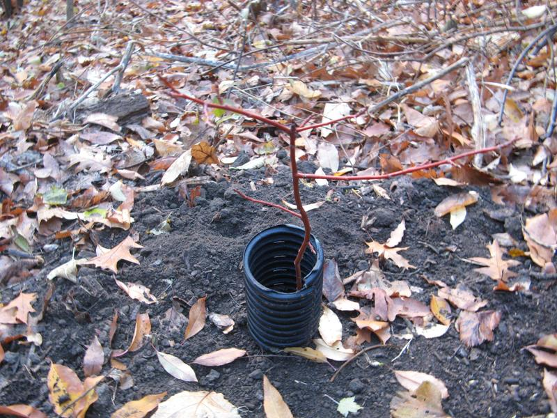 A newly planted American Chestnut in Prospect Park