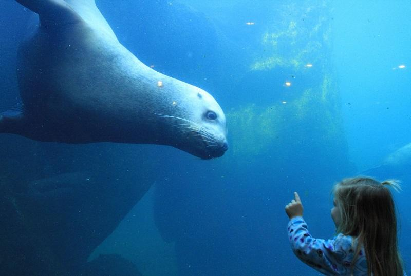 In this Feb. 25, 2015 file photo, Elin Lunoe, and Pilot, a Steller sea lion, check each other out at a tank at the Alaska SeaLife Center in Seward, Alaska.