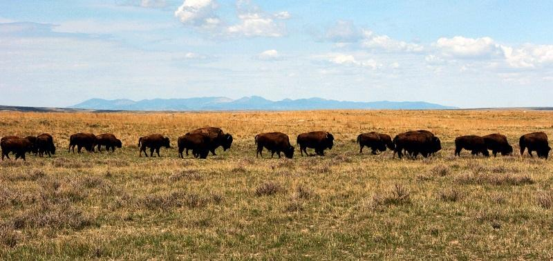 In this April 25, 2012, file photo, a herd of bison move through land controlled by the American Prairie Reserve south of Malta, Montana.