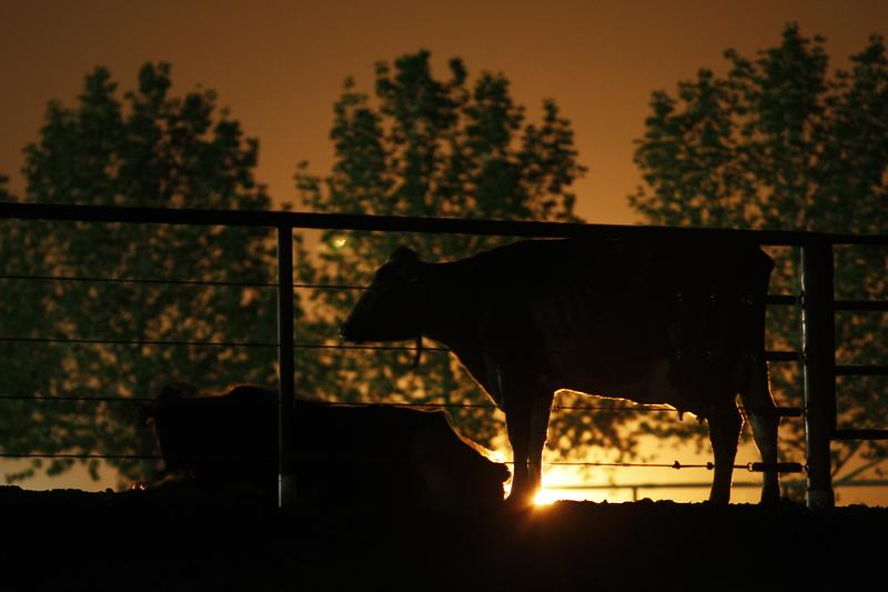 Dairy cattle lit from behind by the glow of gas being flared as waste from the Monterey Shale formation where gas and oil is extracted using hydraulic fracturing, March 22, 2014 near Buttonwillow, CA.
