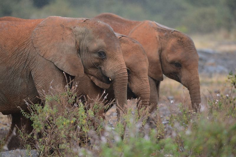 On World Elephant Day 2014, orphaned baby elephants at the David Sheldrick Elephant Orphanage, at the Nairobi National Park, in Nairobi, Kenya.