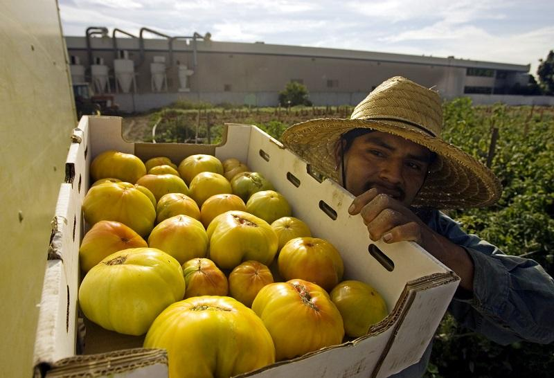 Oscar Martinez holds a box of freshly picked Old German heirloom tomatoes, Tuesday, Nov. 1, 2005, at the Jaime Farms in City of Industry, Calif.