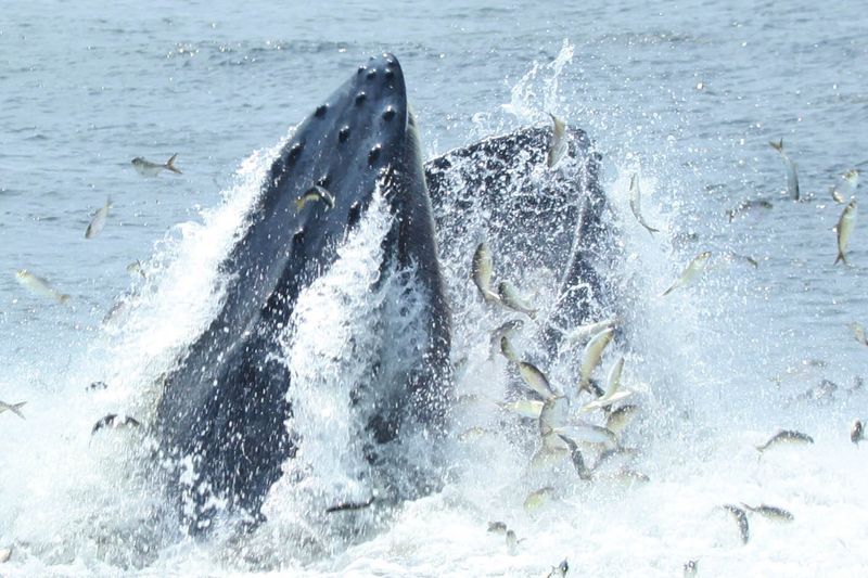 A humpback whale feeding on menhaden in lower New York Harbor.